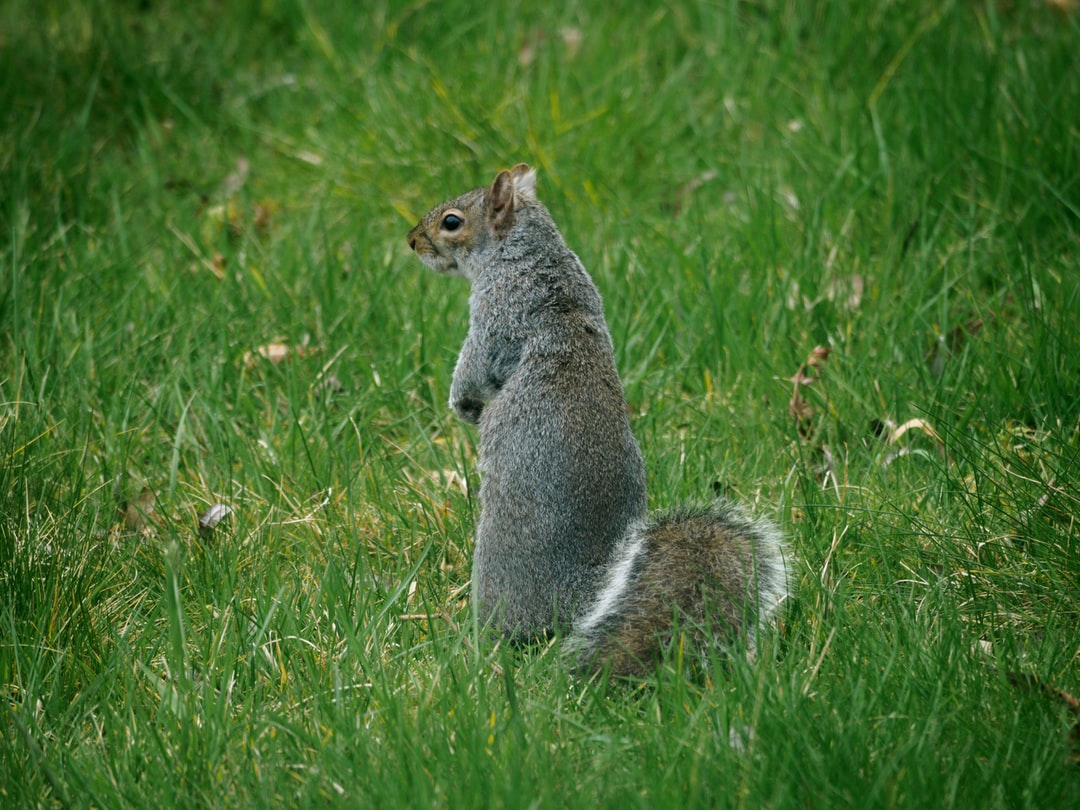 A squirrel standing on a lush green field